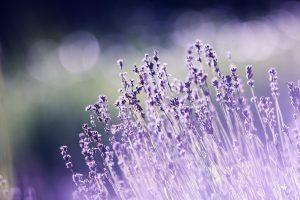 lavender in Hvar